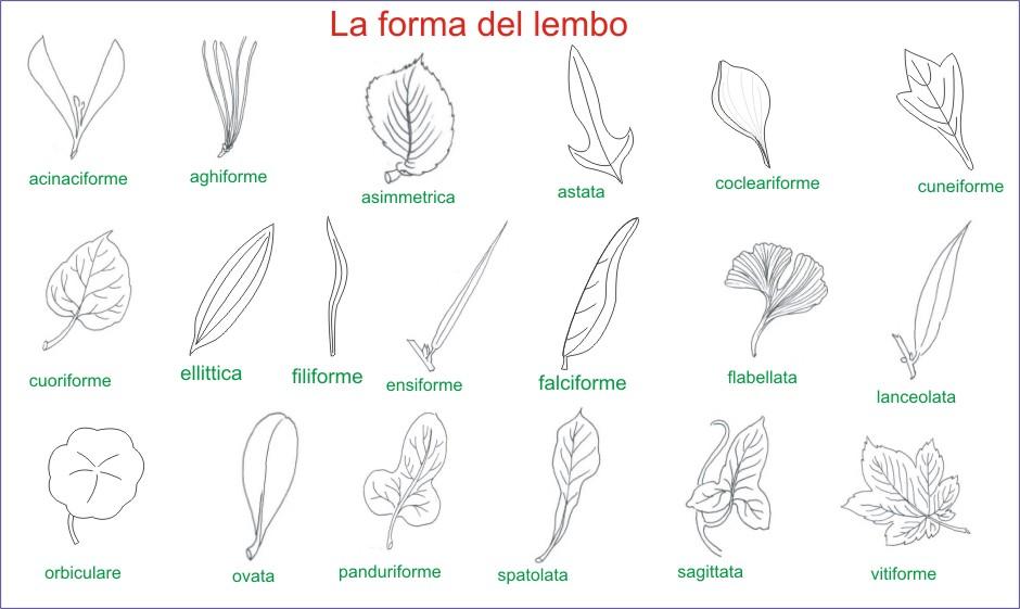Amint Tavole Di Morfologia Vegetale Le Foglie