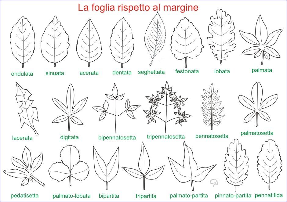 Amint: Tavole di morfologia vegetale: le foglie