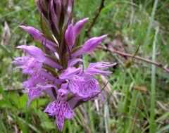 Dactylorhiza maculata (L.) Soò subsp. Fuchsii (Druce) Hil