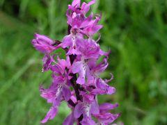 Orchis mascula subsp. mascula (L.) L.