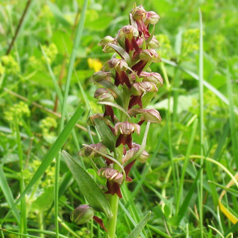 Coeloglossum viride (L.) Hartm.