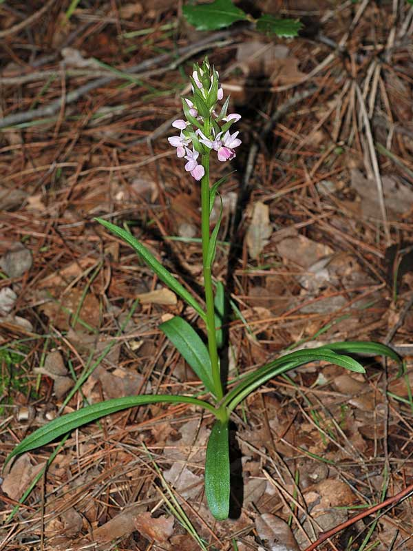 Dactylorhiza romana subsp. romana (Sebastian.) Soò