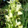 Dactylorhiza insularis (Sommier) Landwehr