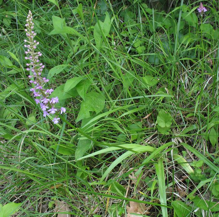 Gymnadenia conopsea (L.) R. Br.