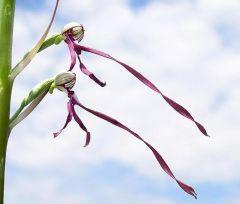 Himantoglossum adriaticum H. Baumann