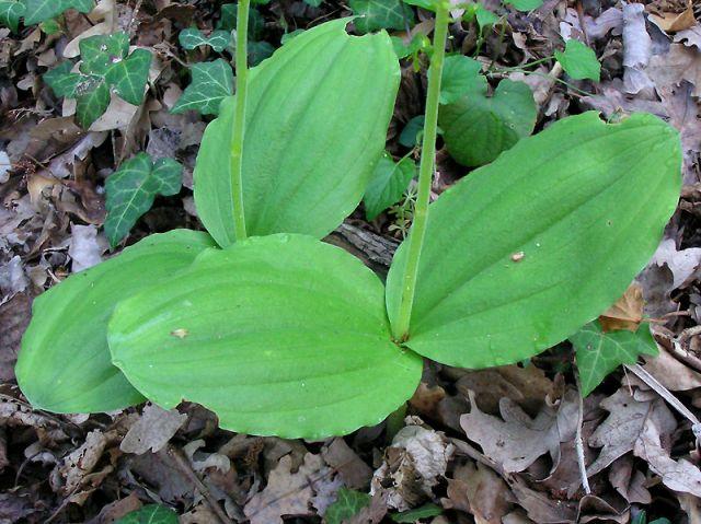 Listera ovata (L.)R.Brown
