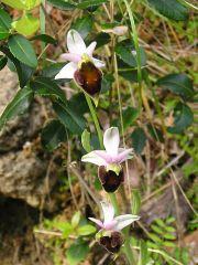 Ophrys argolica subsp. crabronifera (Sebast. & Mauri) Faurt.