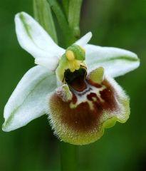 Ophrys holosericea subsp. holosericea (Burm.f.) Greuter