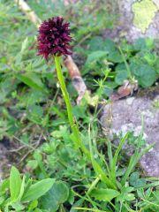 Nigritella nigra subsp. rhellicani (Teppner & E. Klein ) H. Baumann, Kunkele & R. Lorenz