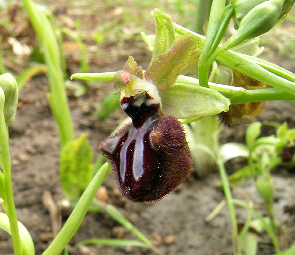 Ophrys incubacea subsp. incubacea Bianca