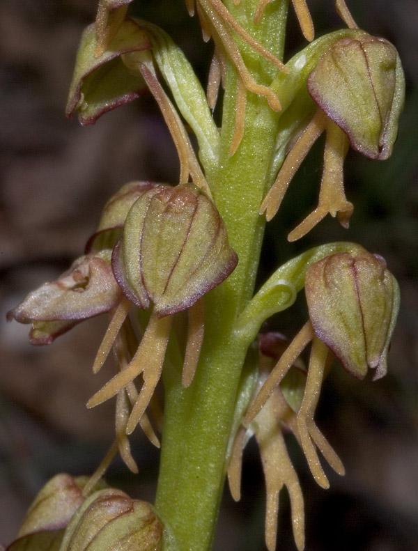 Orchis anthropophora (L.) Allioni