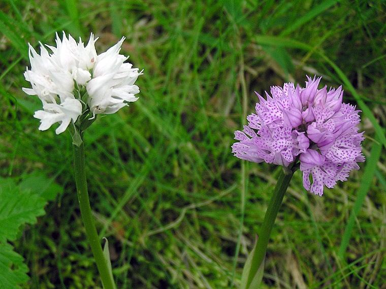 Neotinea tridentata (Scop.) R.M. Bateman Pridgeon & M.W. Chase