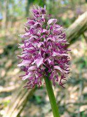 Orchis simia Lam.
