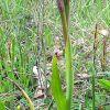 Serapias parviflora Parl.