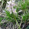 Orchis x colemanii Cortesi