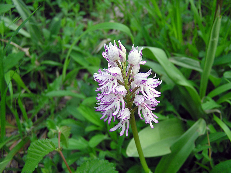 Orchis x angusticruris Franch. ex Humn.