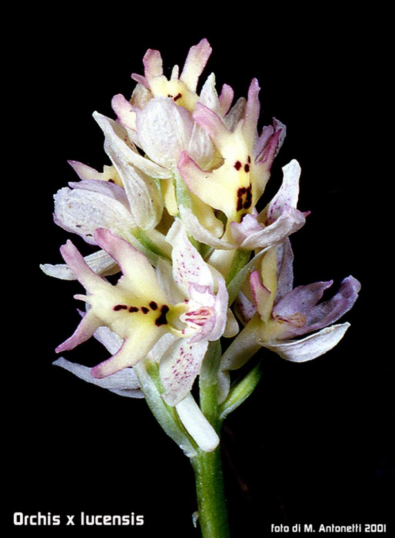 Orchis x lucensis