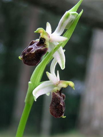 Ophrys exaltata subsp. montis-leonis (O. Danesch & E. Danesch) Soca