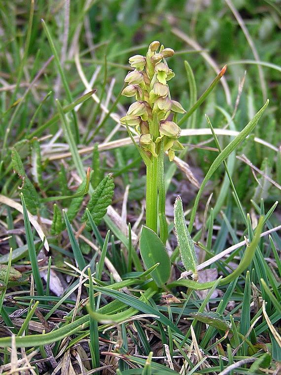Chamorchis alpina (L.) Rich.