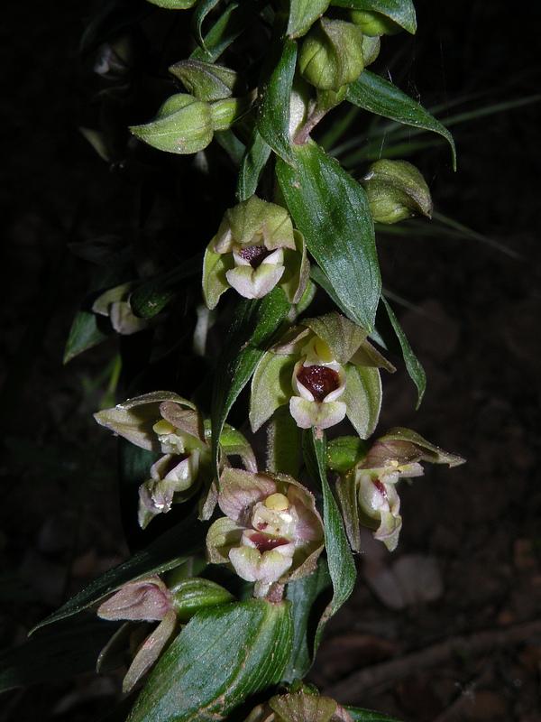 Epipactis helleborine (L.) Crantz subsp. tremolsii (Pau) E.K