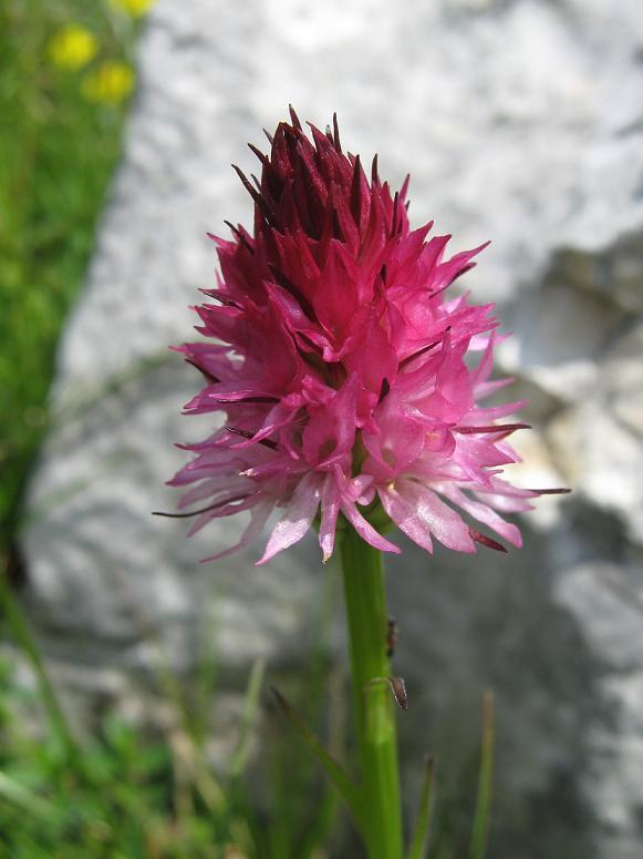 Nigritella rubra subsp. rubra (Wettst.) K. Richt.