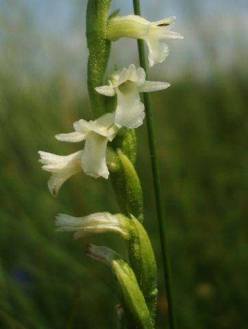 Spiranthes aestivalis (Poir.) Rich.