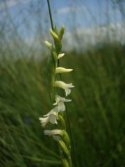 Spiranthes aestivalis (Poir.) Rich.