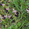 Ophrys bertolonii subsp. bertoloniiformis (O. Danesch & E. Danesch) H. Sund.