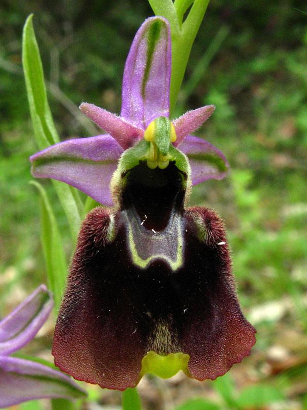 Ophrys holosericea subsp. chestermanii J.J. Wood