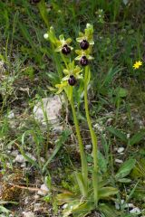 Ophrys passionis subsp. passionis Sennen ex Devillers-Tersch. & Devillers