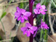 Orchis quadripunctata Cirillo ex Ten.