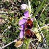 Ophrys argolica subsp. biscutella (O. Danesch & E. Danesch) Kreutz