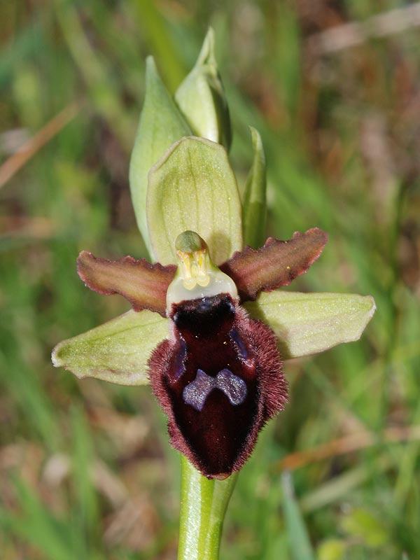 Ophrys promontorii O. & E. Danesch