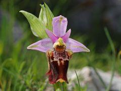 Ophrys holosericea subsp. apulica (O. Danesch & E. Danesch) Buttler