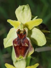 Ophrys exaltata Ten. Subsp. archipelagi (Golz & H. R. Re