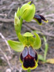 Ophrys fusca subsp. ortuabis (M.P. Grasso & L. Manca) Kreutz