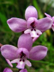 Orchis brancifortii Biv.