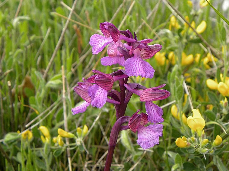 anacamptis x gennarii (Rchb. F.) H. Kretz., Eccarius & H. Dietr.