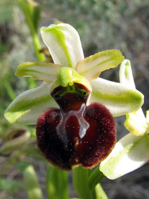 Ophrys sphegodes Mill. subsp. praecox Corrias