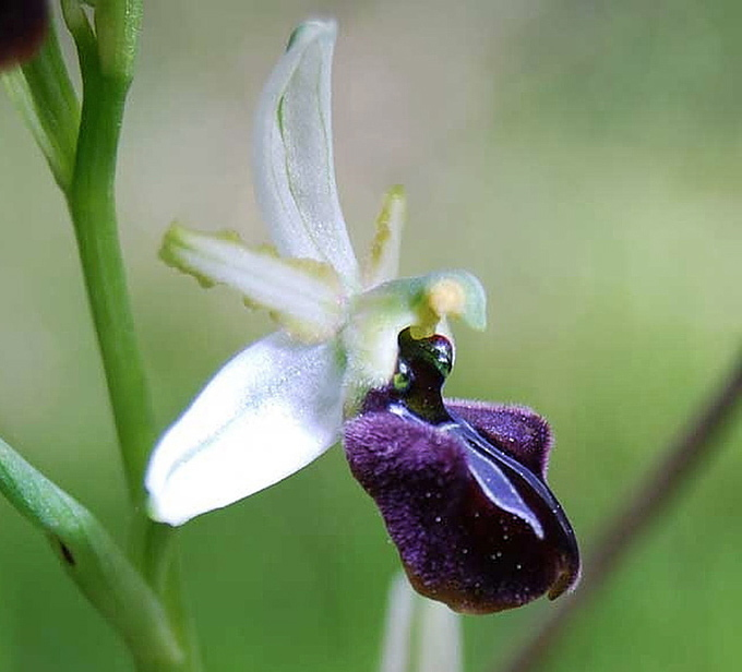 Ophrys sphegodes subsp. panormitana (Tod.) Kreutz