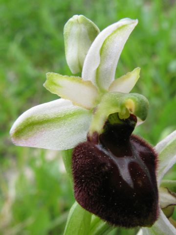 Ophrys sphegodes Mill. subsp. praecox Corrias