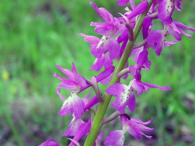 Orchis x penzigiana A. Camus