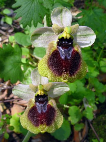 Ophrys x normanii J. J. Wood