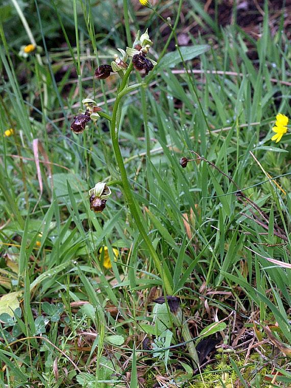 Ophrys speculum Link x ophrys sphegodes Miller