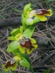 Ophrys subfusca subsp. Liveranii Orrù & M.P. Grasso