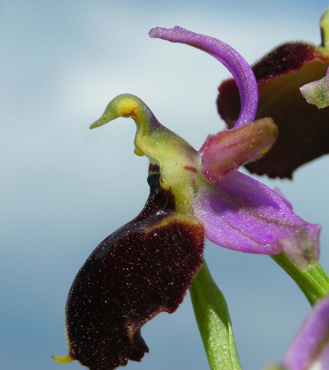 Ophrys x laconensis Scrugli et Grasso
