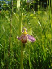 Ophrys apifera var. tilaventina Nonis & Liverani