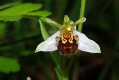 Ophrys apifera var. aurita Moggr.