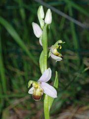 Ophrys apifera var. bicolor (Nageli) E. Nelson