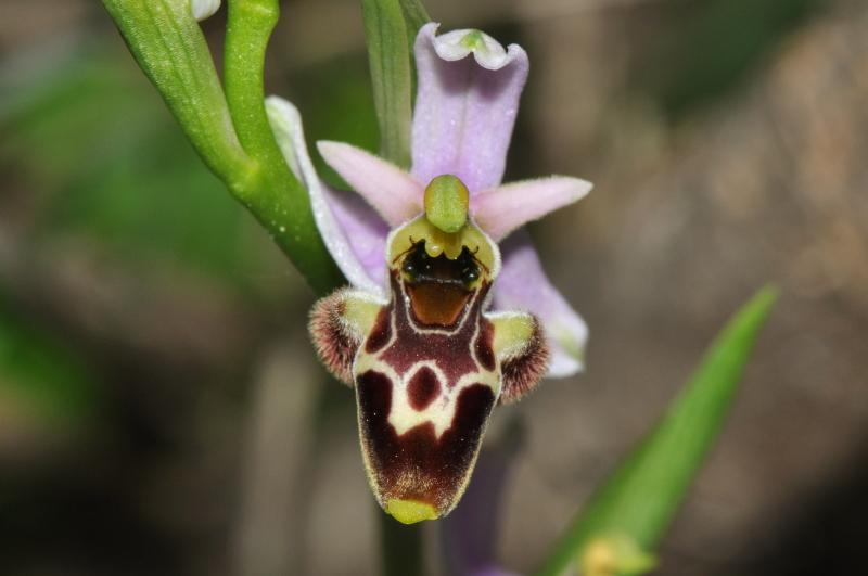 Ophrys scolopax subsp. santonica (J.M. Mathè & Melki) R. Engel & Pierre Quentin